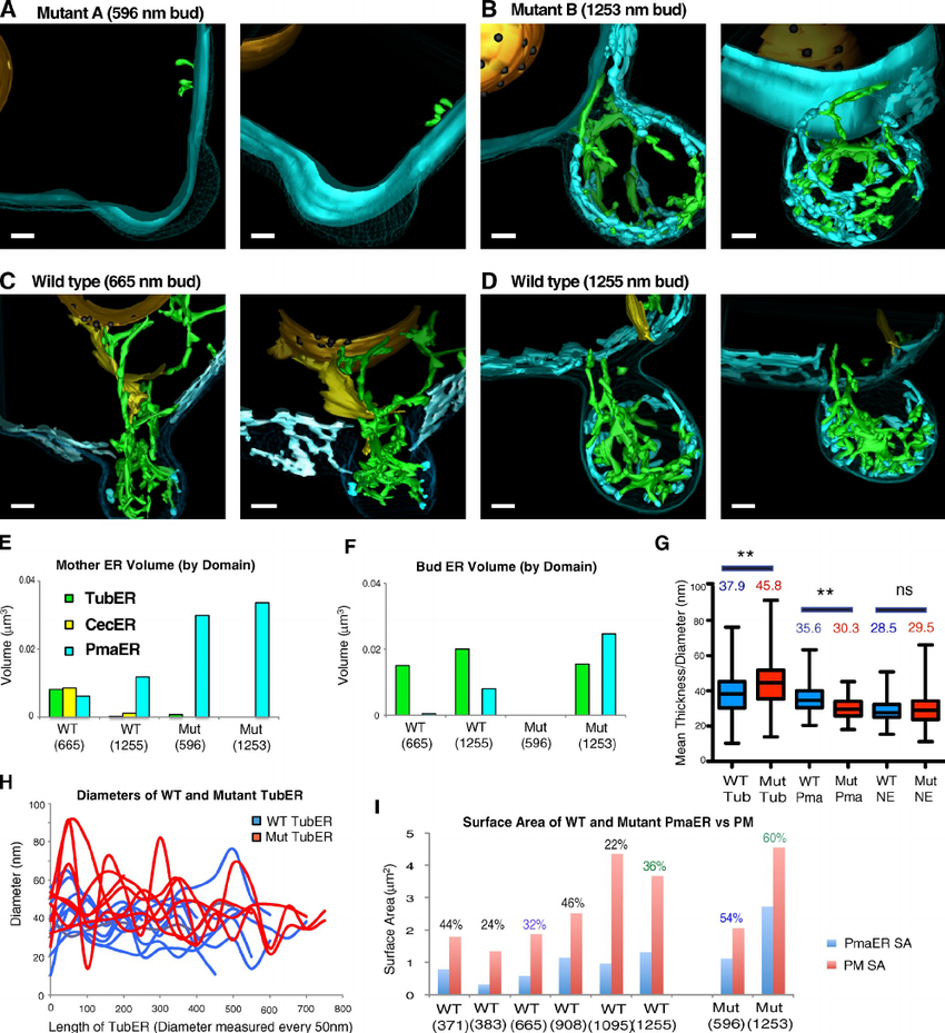 3D Er Domain Structure In Mutant  Rtn1Rtn2Yop1 . (A And B within 3D Er Diagram