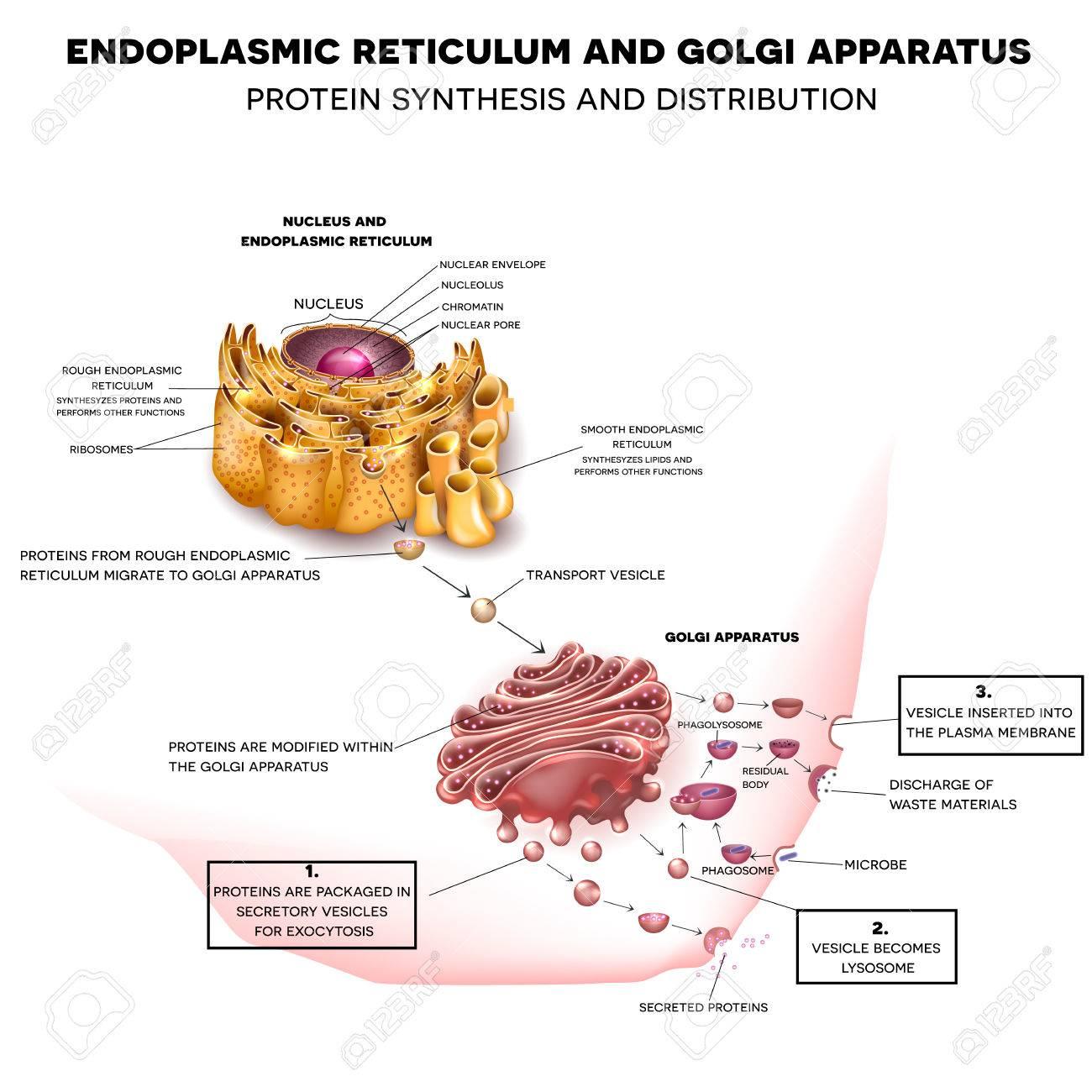 Endoplasmic Reticulum And Golgi Apparatus. Protein Synthesis.. throughout Endoplasmic Reticulum Drawing