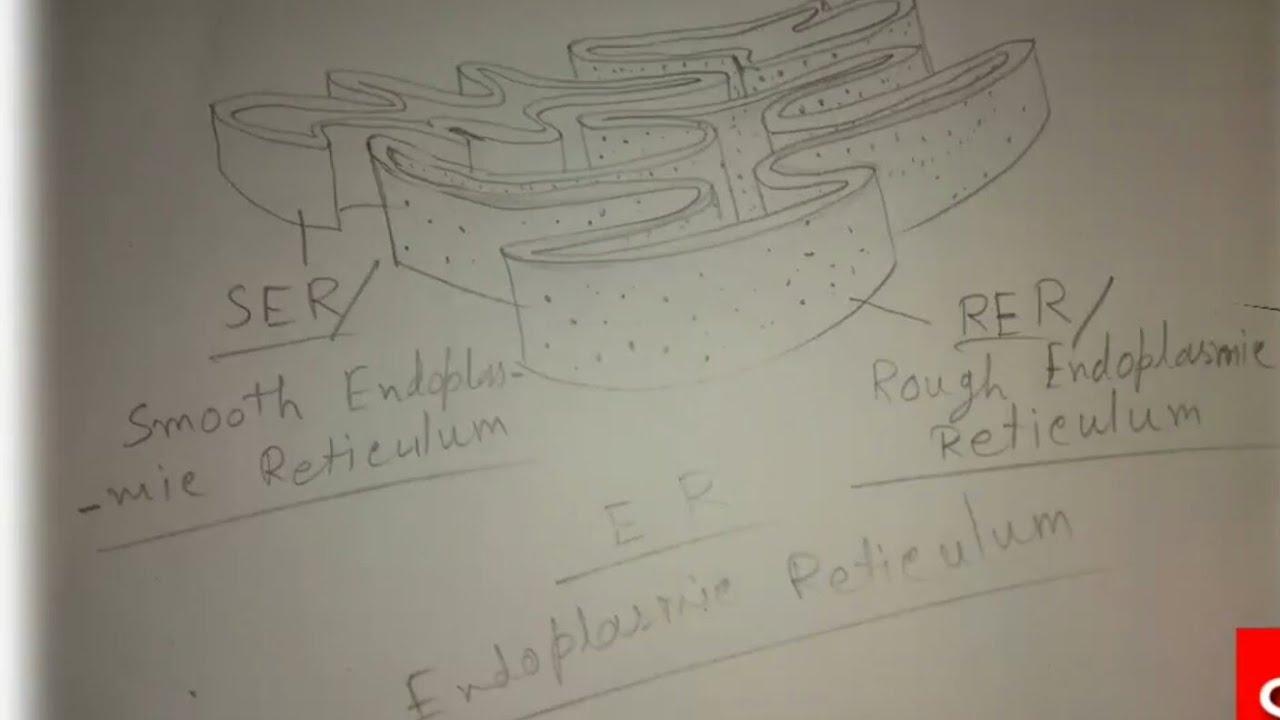 How To Draw Endoplasmic Reticulum. throughout Endoplasmic Reticulum Drawing