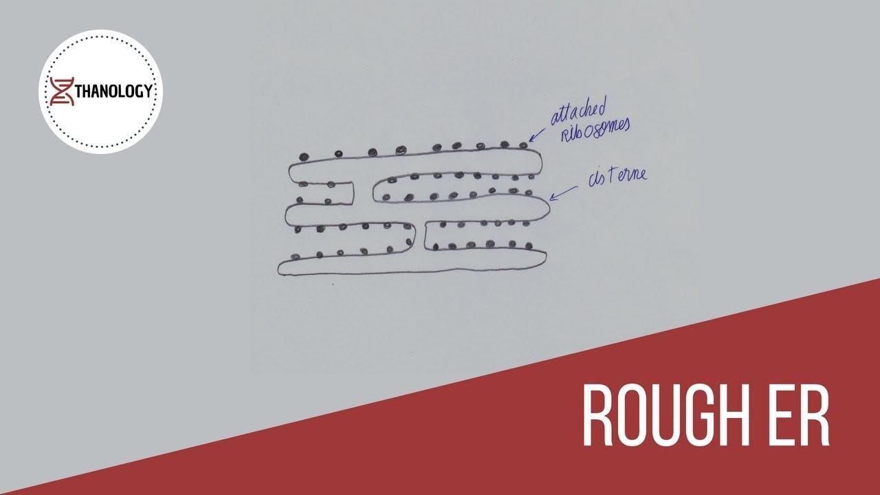 How To Draw Rough Endoplasmic Reticulum (Histology) inside Endoplasmic Reticulum Drawing
