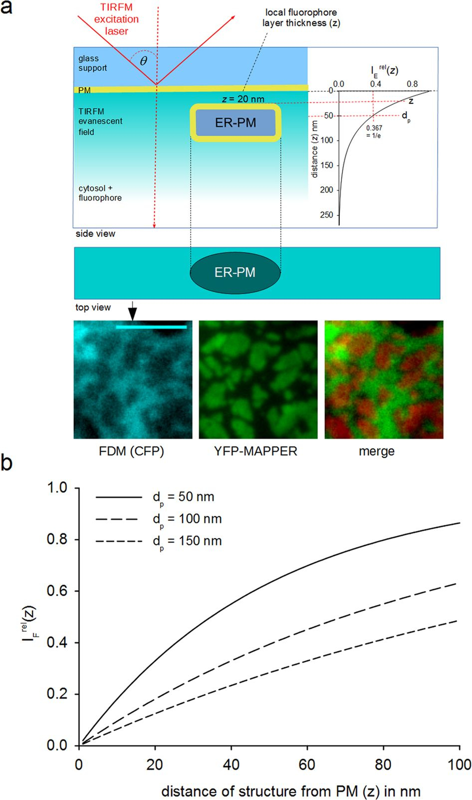 Live-Cell Imaging Of Er-Pm Contact Architecturea Novel for Er Mapper