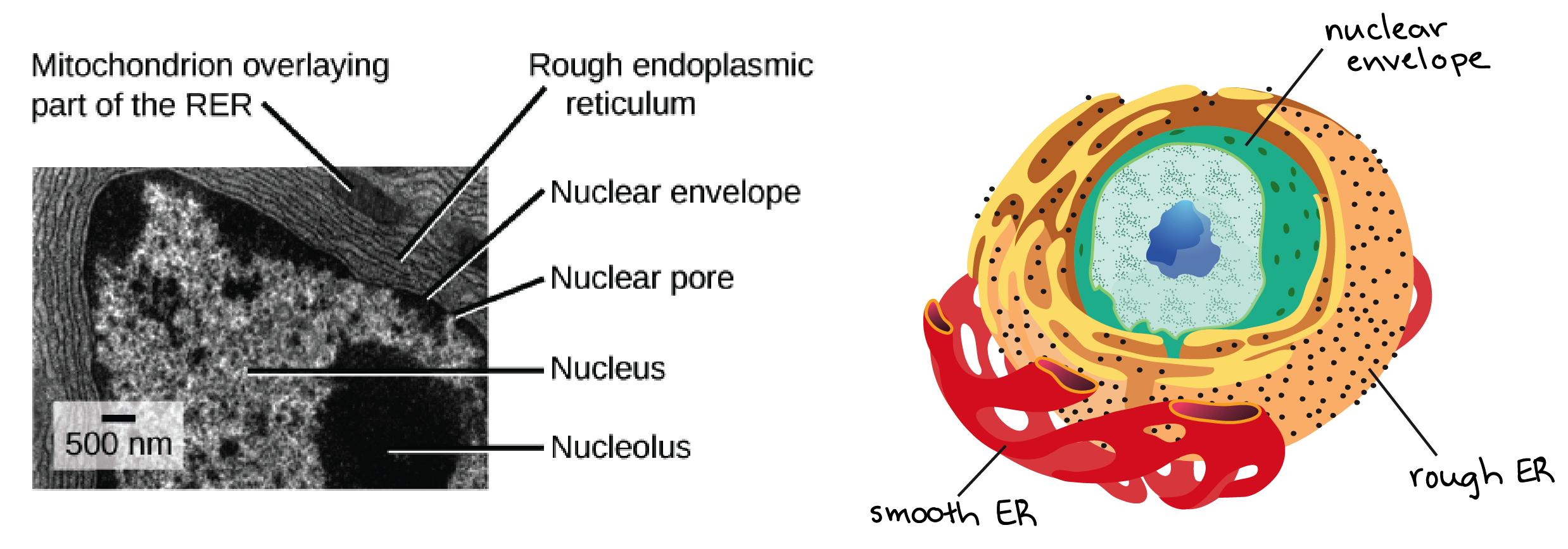 The Endomembrane System (Article) | Khan Academy regarding 3D Er Diagram