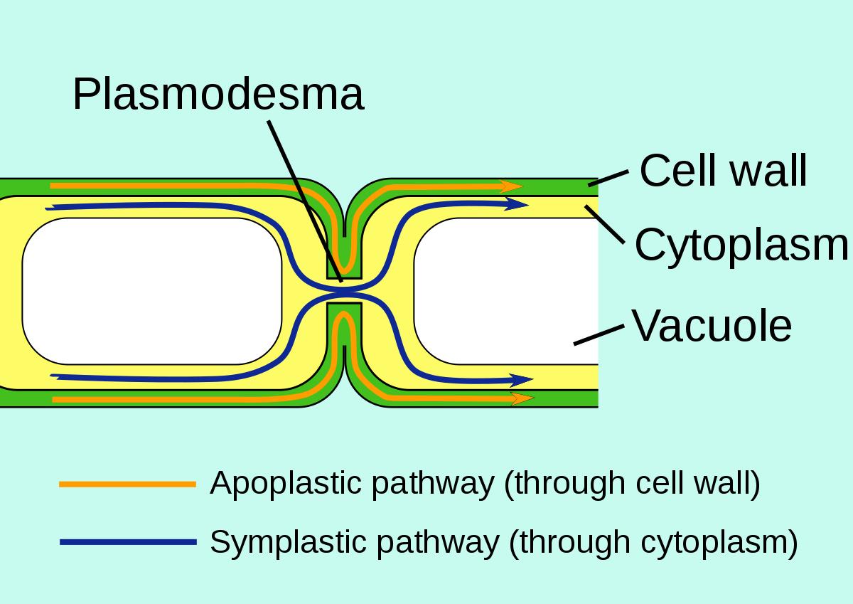 Plasmodesma - Wikipedia intended for Er Diagram Là Gì