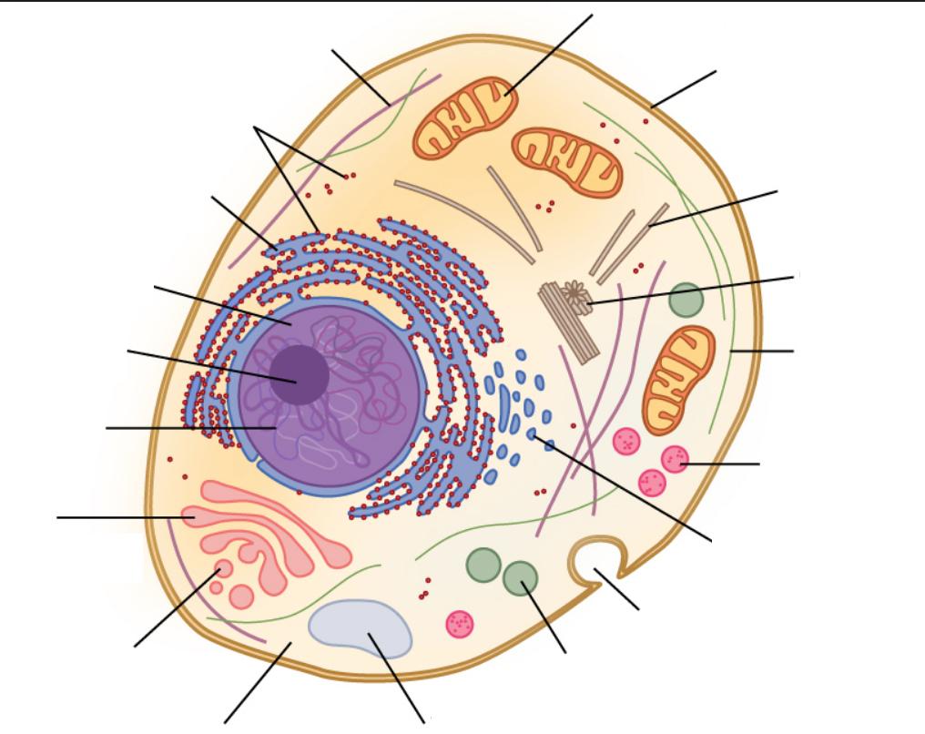 Biology- Cellular Organelles 1 (Ribosomes - Smooth Er with regard to Er Diagram Quizlet