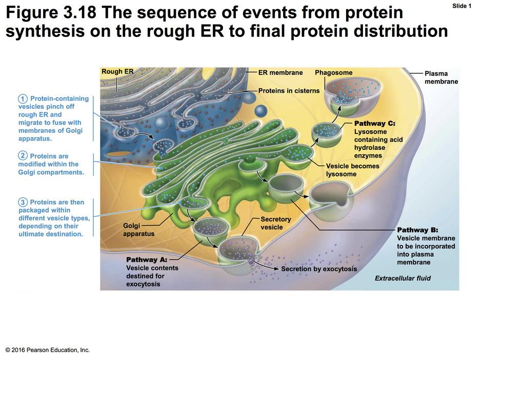 Protein Synthesis On The Rough Er Diagram   Quizlet inside Er Diagram Quizlet